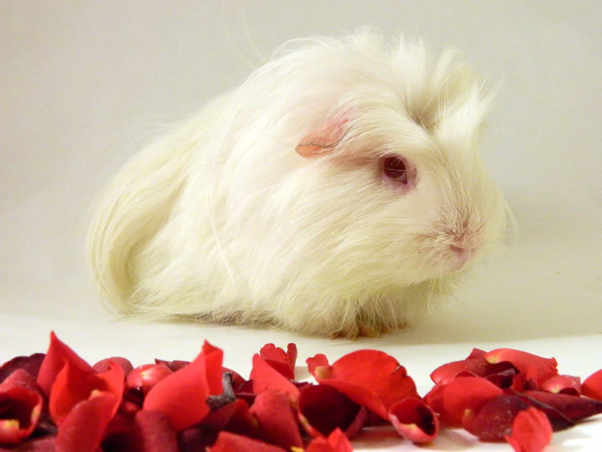 Cute, pig, piglet, fluffy, rose, red rose, camera, guinea pig, sweet, aww, photography