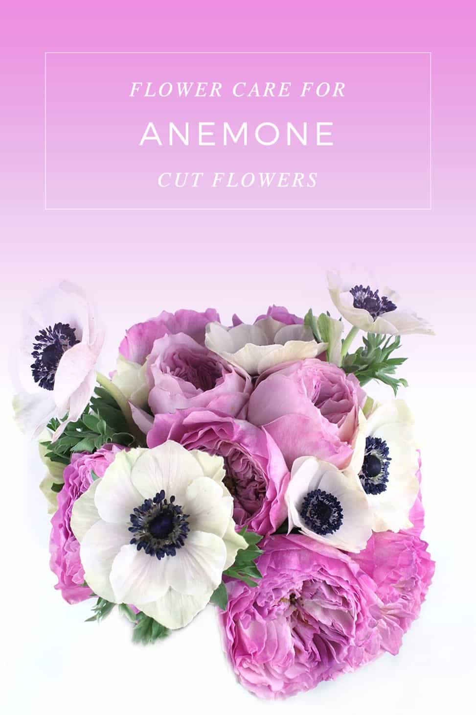 Anemone cut flowers, anemone care, flower care anemone, make your anemone last longer, care tips