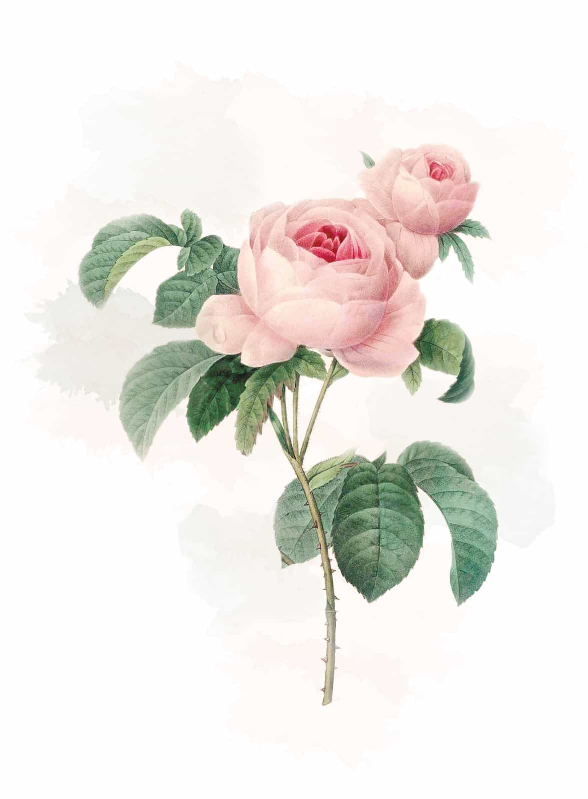 Victorian flowers and their meaning The Smell of Roses The Smell of Roses