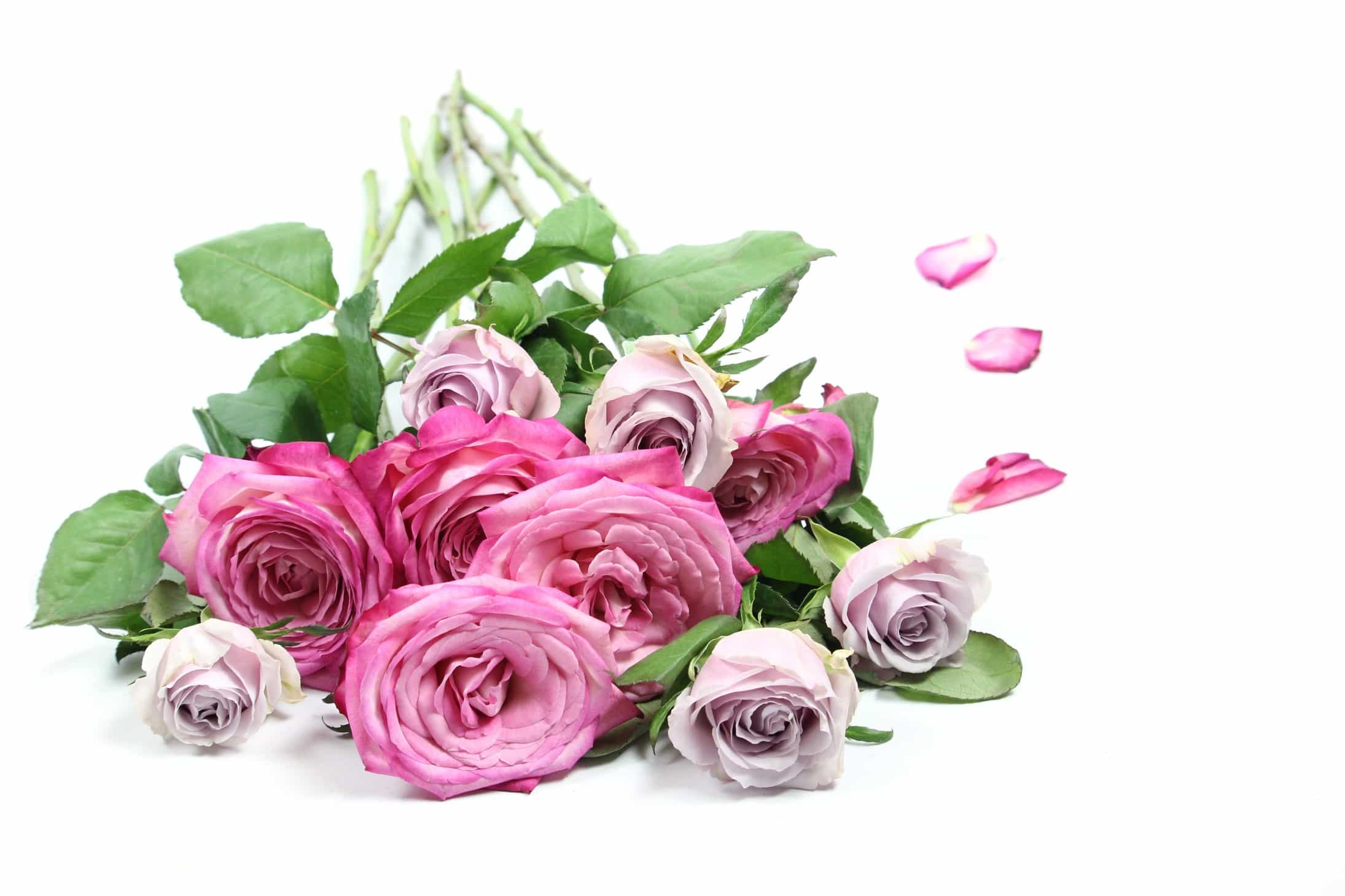 Mythbusters: care for cut roses the right way, Pink garden roses on white background
