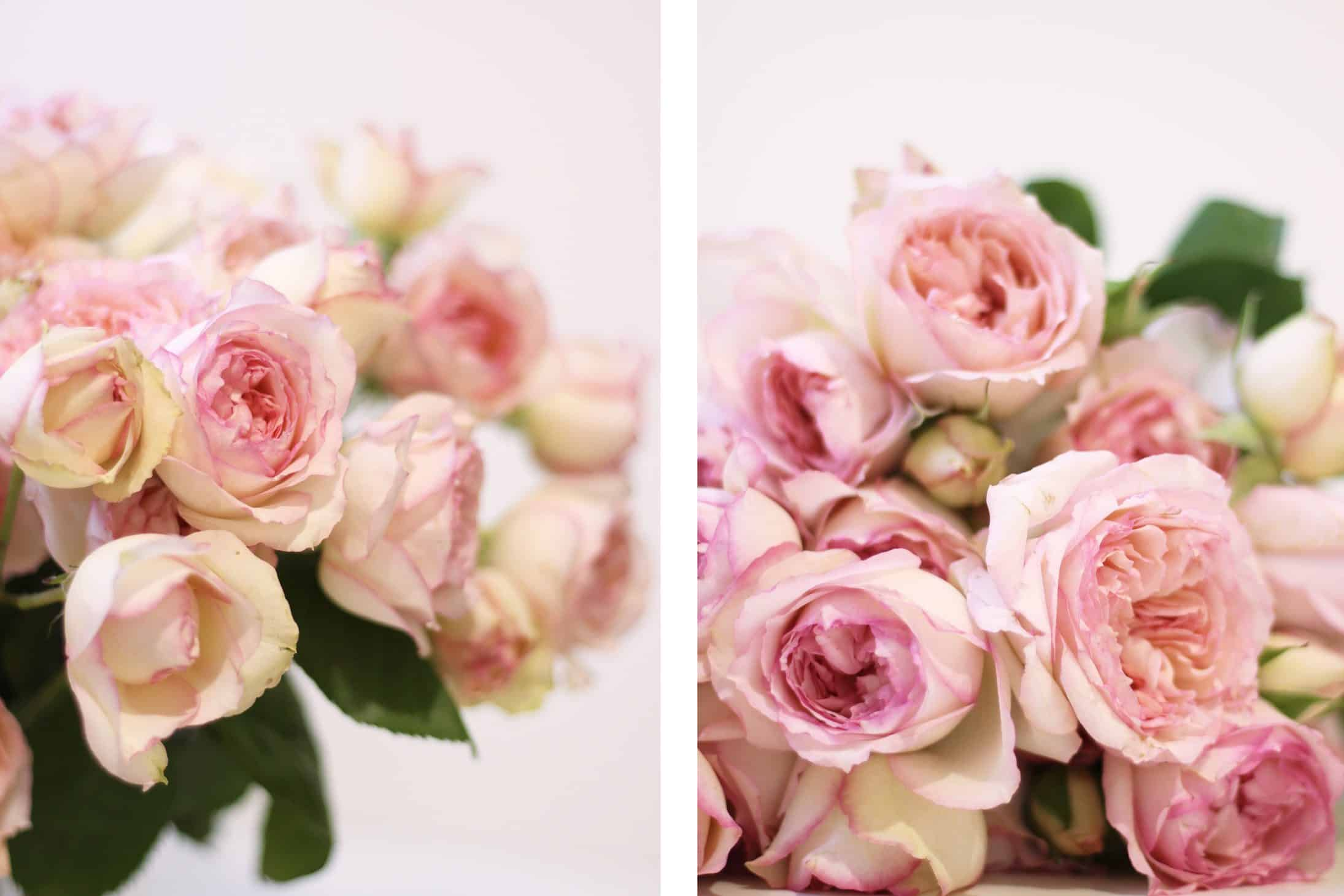 Love Garden Roses: Why I Love Rose Carmeline (And You Should, Too!)