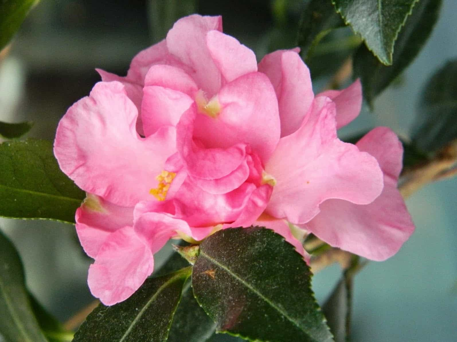 London, winter, pink, flower, camellia, camellia 'Winter's Charm', pink bloom