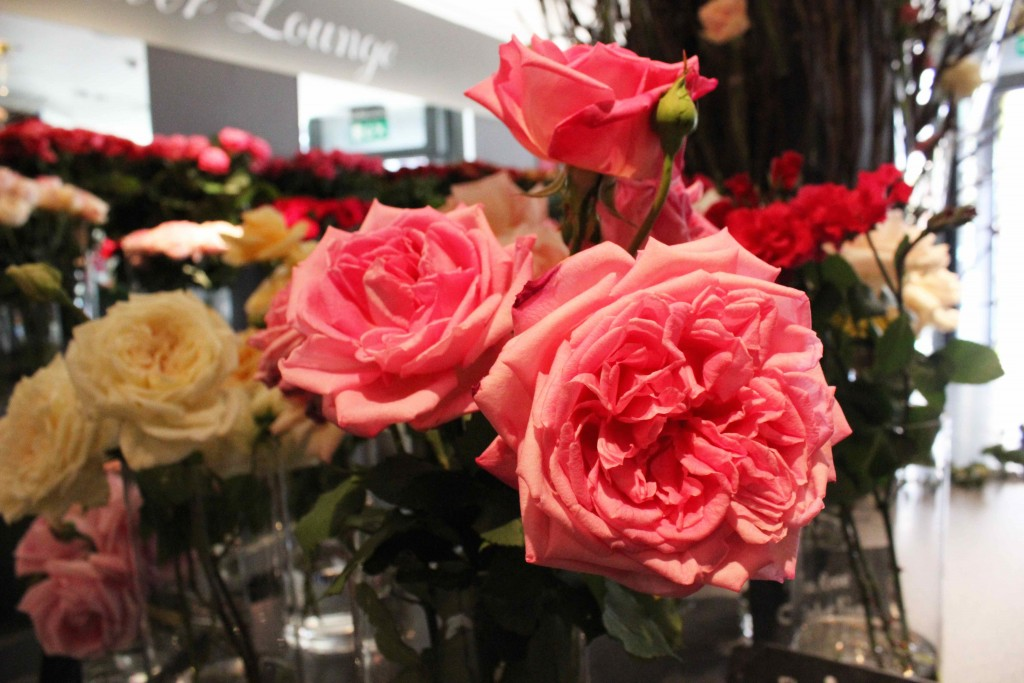 tea rose, pink pearl rose, A Celebration Of The Rose, Neill Strain, Garden roses, old roses,  rare roses, country roses,