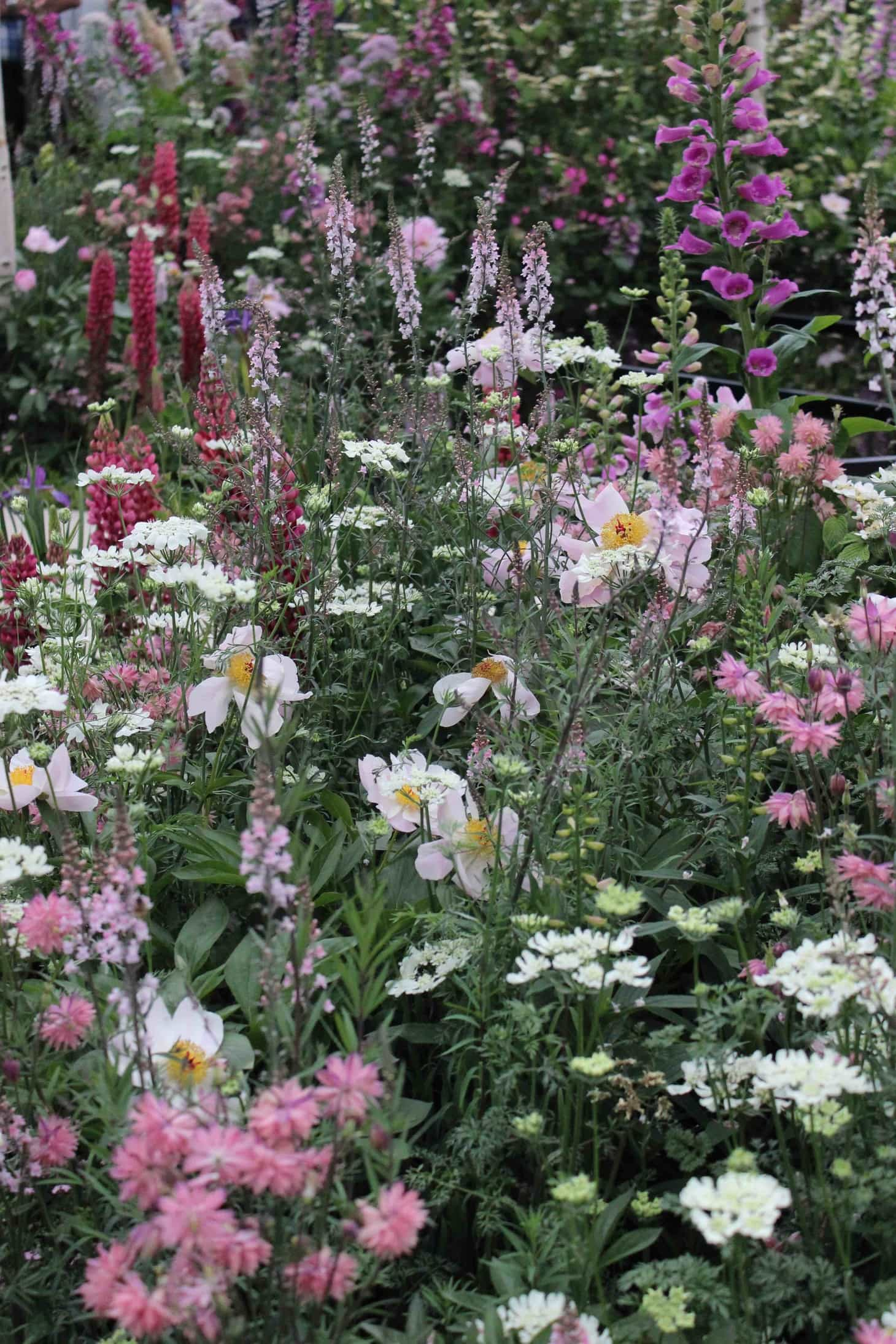 helsea flower show 2015, Lush roses, pink roses from chelsea, Garden roses, old roses, remembering chelsea flower show 2015, Breakthrough Breast Cancer Garden, Foxgloves and Lupiniums