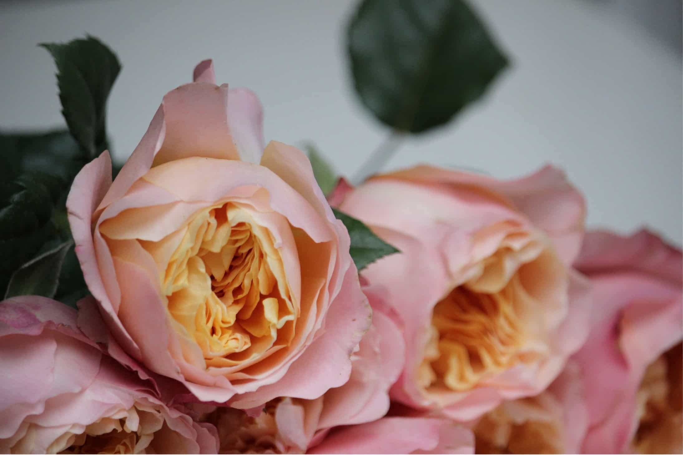 The smell of roses the smell of roses the smell of roses most people feel an urge to smell roses when they see them but few know what is responsible for this enchanting scente proliferation of fake rose scents mightylinksfo