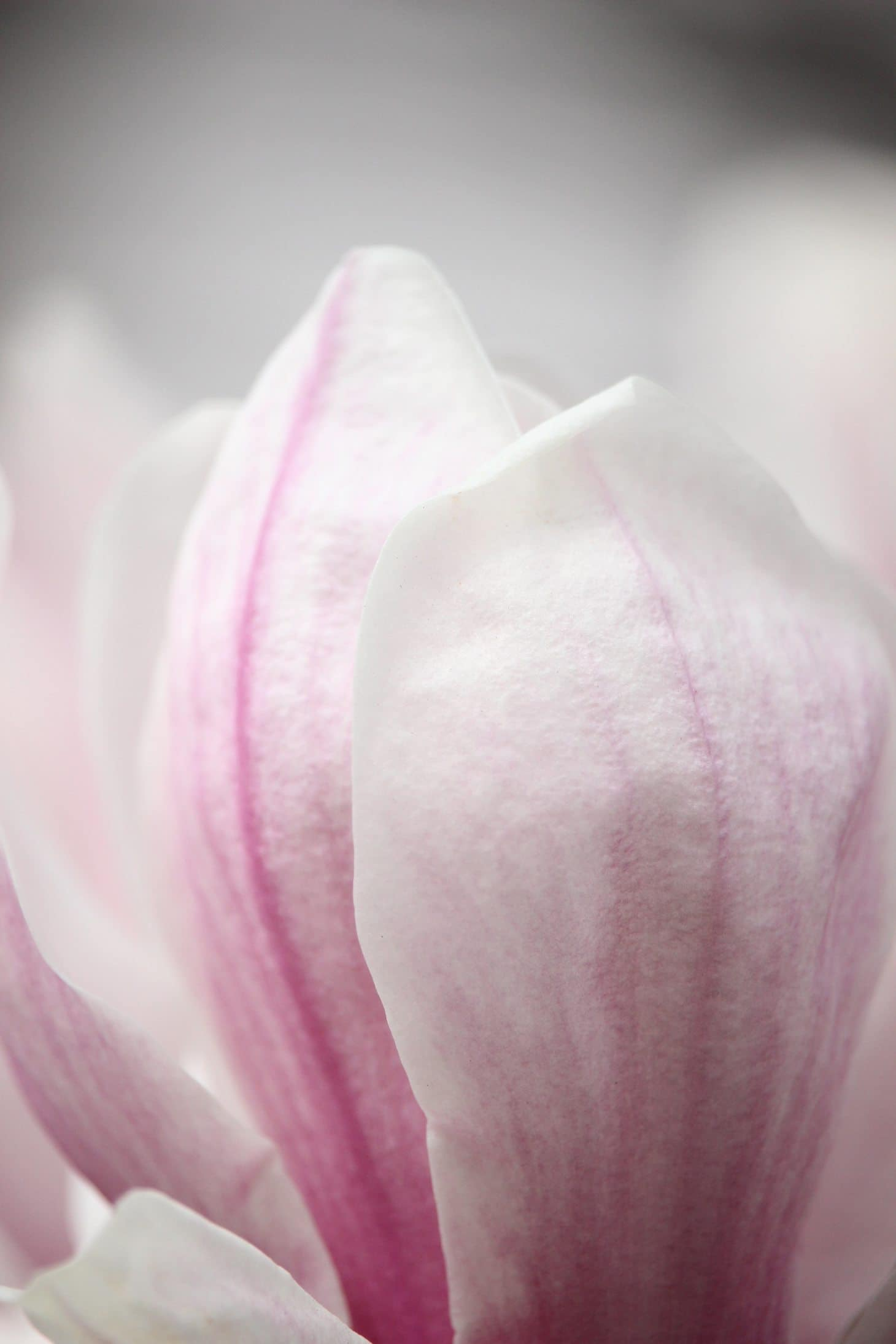 How to photograph flowering trees, spring bloom, pink magnolia