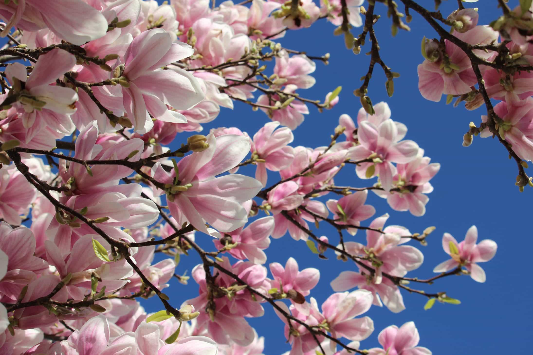 How to photograph flowering trees, pink magnolia bloom