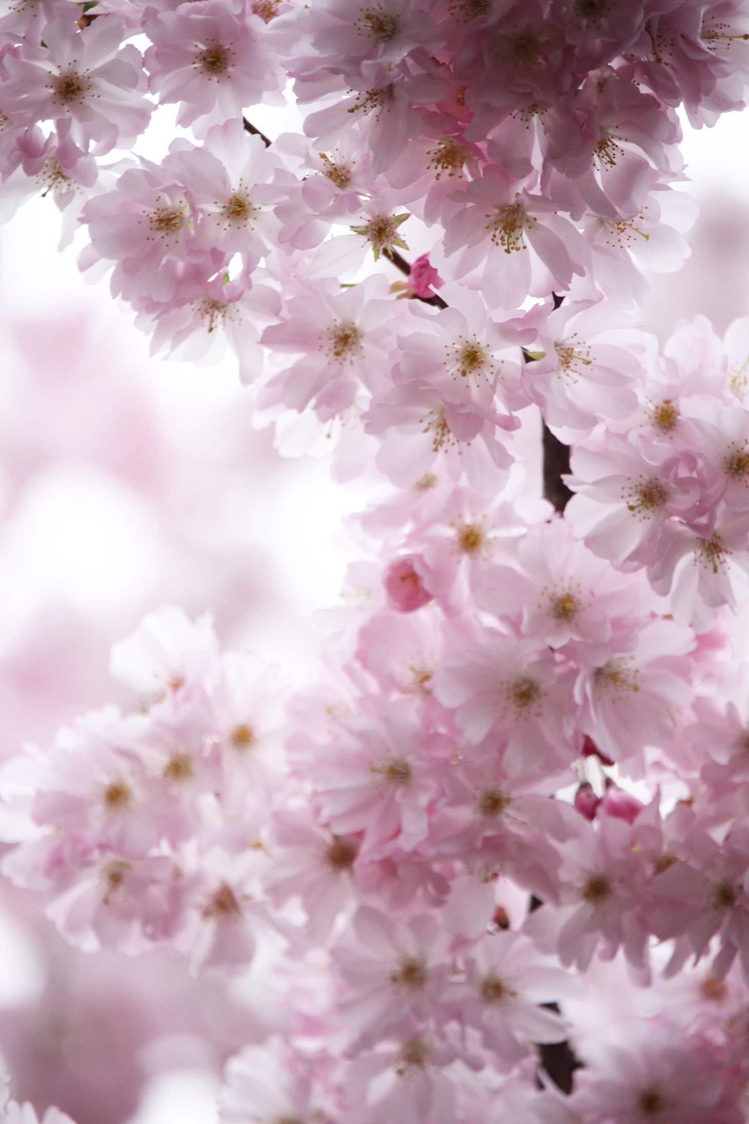 How to photograph bloom, flowering trees, cherry blossom