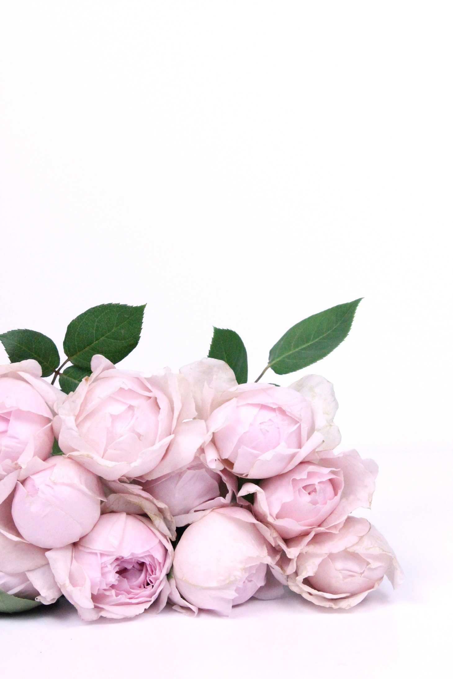 Peony Pink Rose, peony alternative, fragrant garden rose, rose looks just like peonies, rose with myrrh scent, St Cecilia rose, peony rose