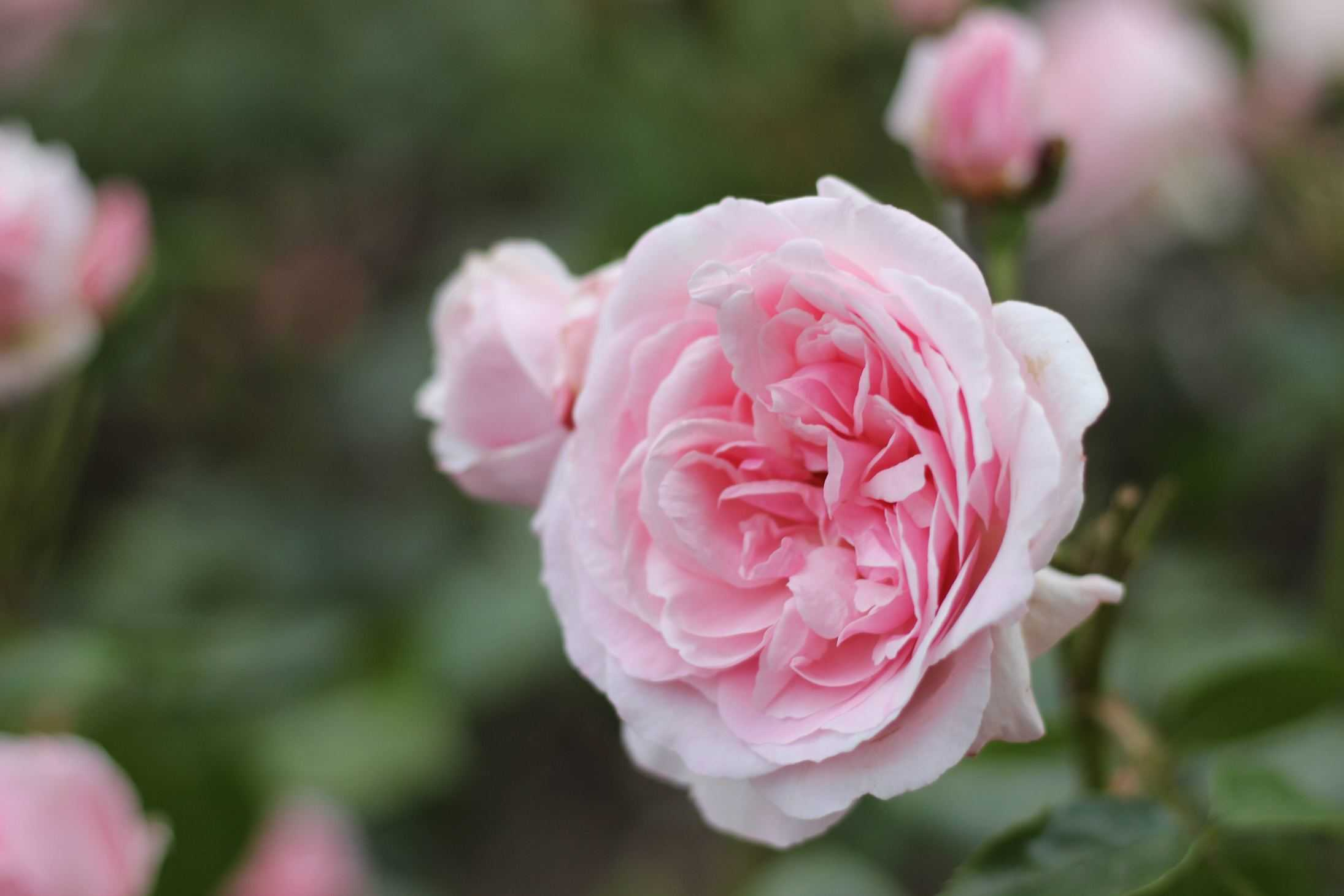 Octavia Hill rose, Roses named after famous people