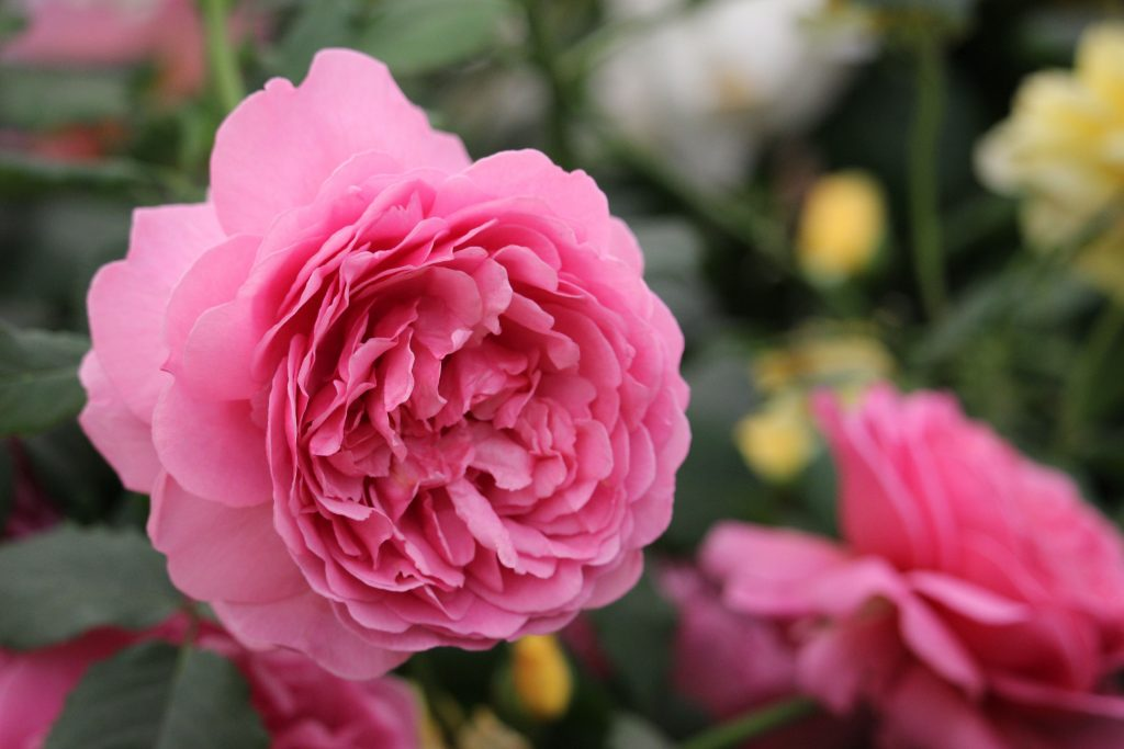 Rose Princess Alexandra of Kent, Roses named after famous people