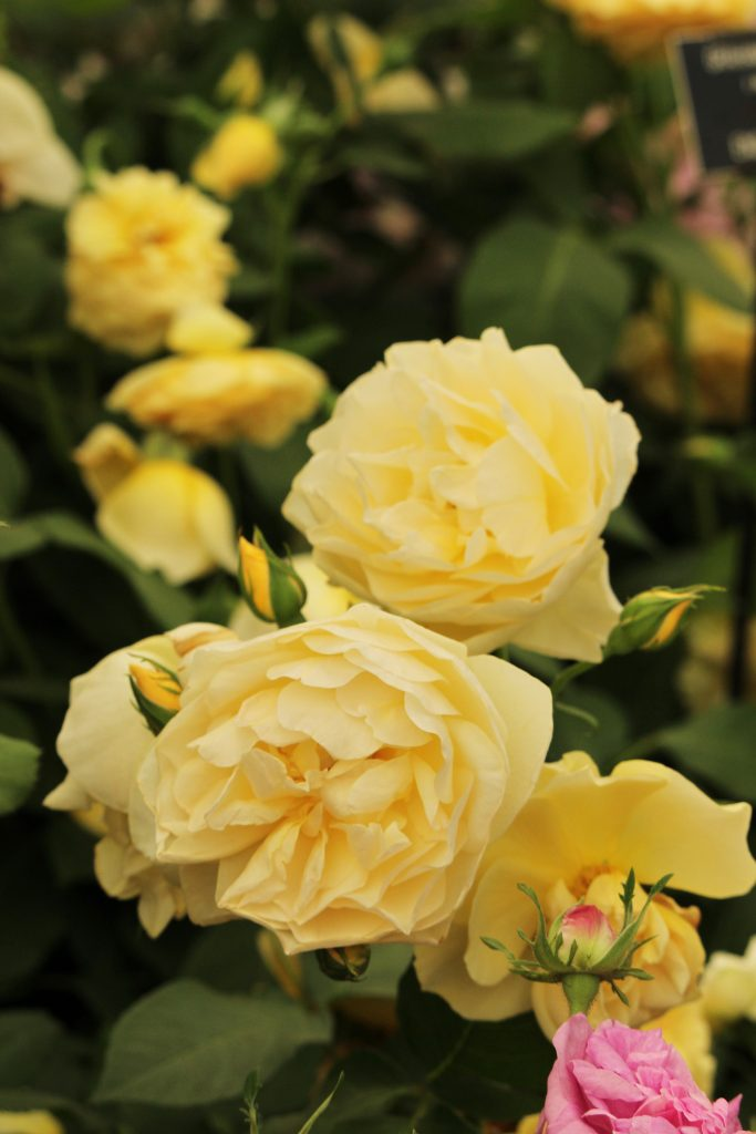 Rose Graham Thomas, Roses named after famous people