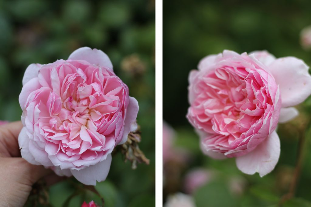 Anne Boleyn Rose, Roses named after famous people