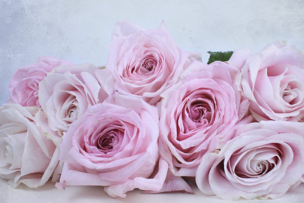 perfect pinks, Ohara rose, Avalanche rose