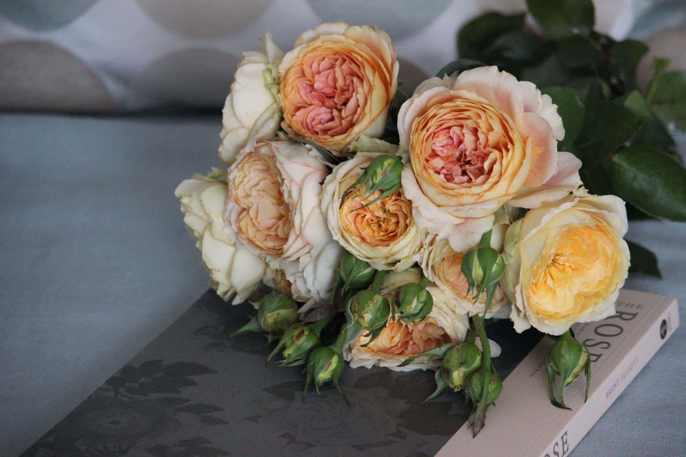 Old Garden Roses, all about old garden roses, guide to old garden roses