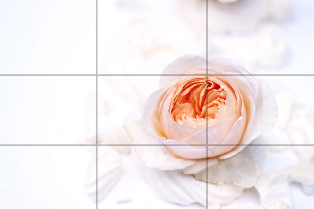 rule of thirds, juliet rose, mobile flower photography