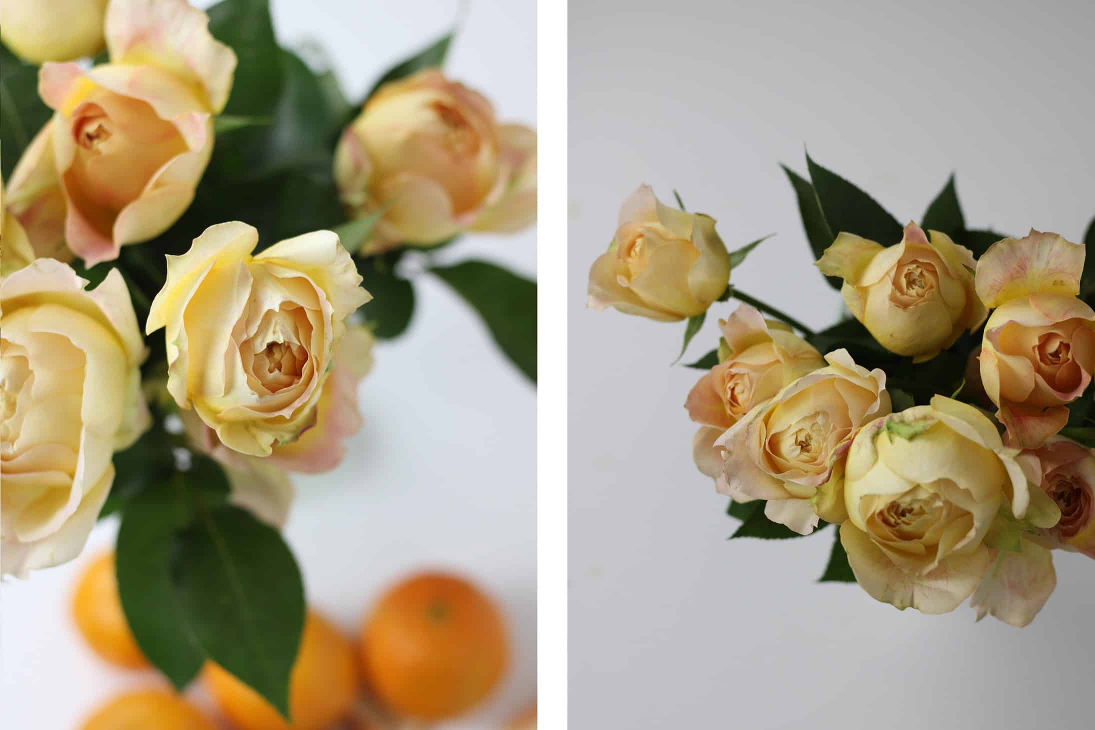 Caramel Antike rose, peach color rose, yellow rose, yellow garden rose, fragrant rose