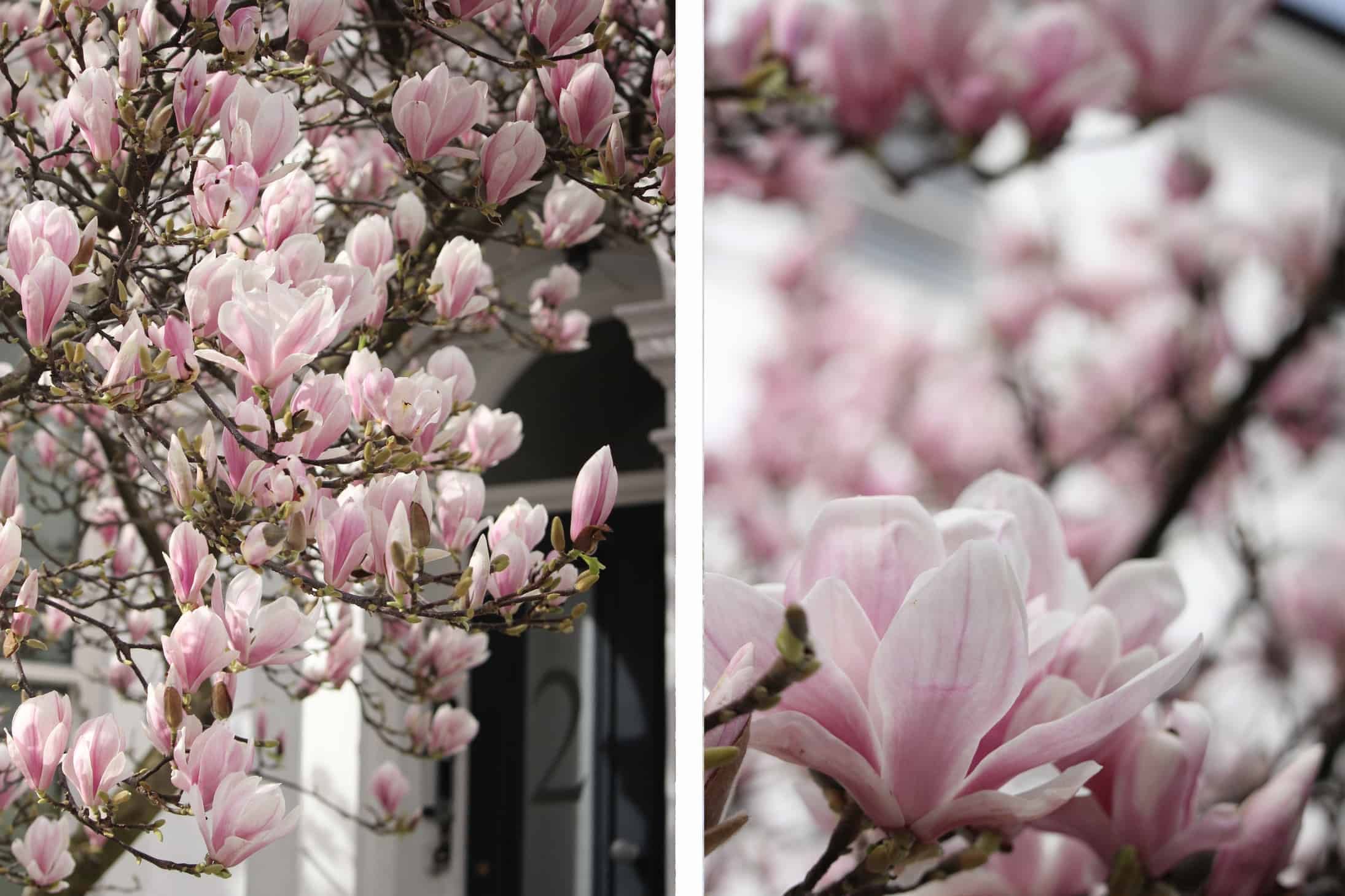 where to see magnolia in london, notting hill, instagram places in notting hill